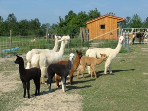 Picture of alpacas