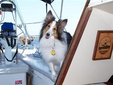 Collie on a boat