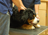Dog being examined in the veterinary office