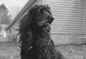 Stanley the poodle