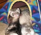 Three ferrets