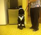 Dog in a tuxedo