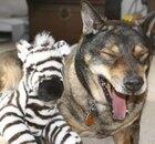 Dog with a zebra stuffed animal