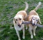 Dogs carrying a stick