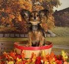 Dog in a basket surrounded by pumpkins and leaves