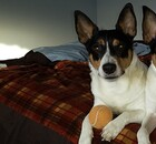 Jack Russell, Rat Terrier mix