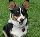 Pembroke Welsh Corgi in the grass