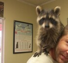 Raccoon on a man's shoulder