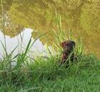 Brown dog playing near the pond.