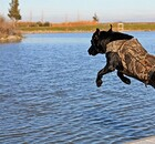 Dog jumping into a lake