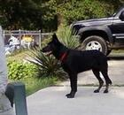 Black dog outside