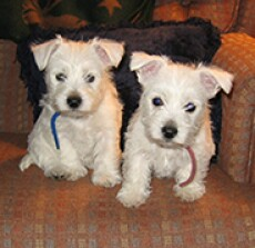 Two white puppies