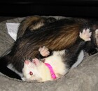 Ferrets playing