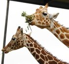 Two giraffes with leaves in their mouths