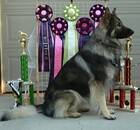 Dog Wrangler with his trophies and ribbons