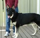 Dog Jade