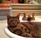 Cat in a sink
